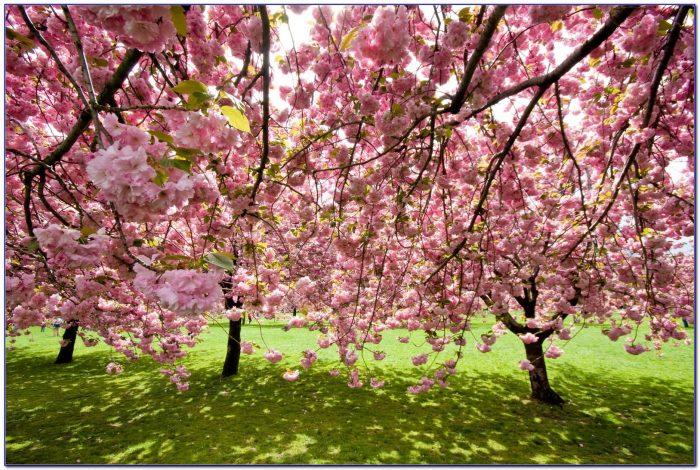 Brooklyn Botanical Garden Cherry Blossoms